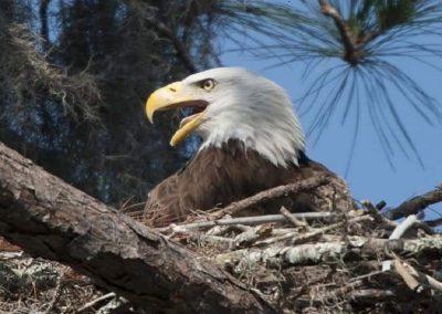 Eagle Nesting